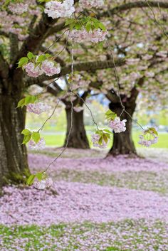 ~~Rolling Out the Pink Carpet | Cherry Blossoms, Vancouver, Washington | by Synapped~~