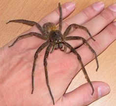 Brazilian wandering spiders, armed spider or banana spiders, are a genus of defensive and venomous spiders of potential medical significance to humans. They are mainly found in tropical South America, with one species in Central America. - http://myscienceacademy.org/2013/02/15/5-most-dangerous-spiders/