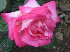 Spring pink rose - Spring pink rose