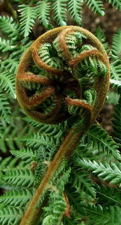 Koru is the Maori word for an unfurling fern frond. It symbolizes new life, growth, strength and peace - Aotearoa