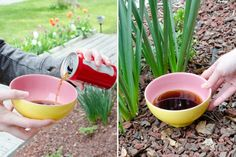 11 Mind-Blowing Things You Can Do with Coca-Cola - The Krazy Coupon Lady Snails In Garden, Garden Insects, Garden Pests, Cleaning Burnt Pans, Cleaning Tips, Free Starbucks Drink, Getting Rid Of Slugs, Remove Oil Stains, Gardens