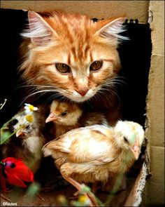 this cat has been looking after the little chicks since their Mum died...  <3