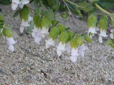 California Pitcher Sage (Lepechinia calycina).  A hummingbird plant. Fairly deer proof.