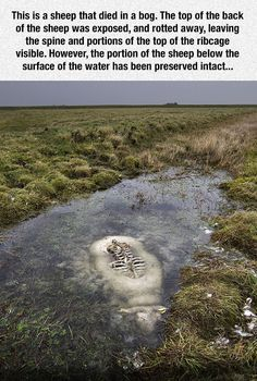 Sheep died in a bog...really creepy but kinda cool