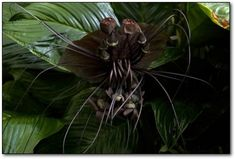Chinese Black Batflowers http://www.cracked.com/article_18979_10-creepy-plants-that-shouldnt-exist.html