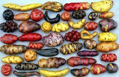 Peruvian potatoes - from Parque de la Papa (Potato Park), a Peruvian agro-ecotourism project. I miss Peruvian potatoes! Peruvian Potatoes, Potato Varieties, Types Of Potatoes, Potato Types, Peruvian Recipes, Peruvian Cuisine, Think Food, Fruits And Veggies, Root Vegetables