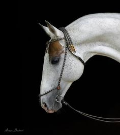 21/~ Striking Akhal-Tekes Pekhimdar, 2001 Russian Stallion