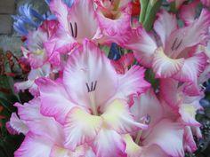 Raccontare un paese: i miei fiori: gadioli