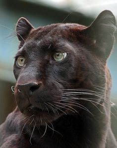 Black panther or jaguar or melanistic leopard ~ this photo clearly shows the leopard markings that are barely visible because of the lack of contrast in the leopards markings. Big Cats, Cool Cats, Cats And Kittens, Nature Animals, Animals And Pets, Cute Animals, Wild Animals, Beautiful Cats, Animals Beautiful