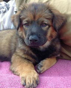 Chow Chow/German Shepherd Mix - Looks like a mini Leonberger :) ↠{abbeygoldfinch}↞ Puppies And Kitties, Cute Puppies, Pet Dogs, Gsd Puppies, Beautiful Dogs, Animals Beautiful, Cute Animals, Funny Animals, Cute Puppy Names