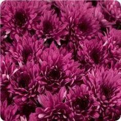 Avalon Purple - VL Garden Mum