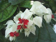 The beautiful #flowers on a Bleeding Heart Vine. Wonderful hanging #houseplant. www.HousePlant411