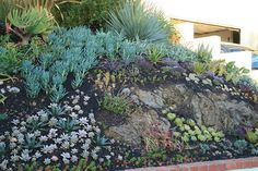 Newly planted succulents at rock outcrop in front garden   Flickr