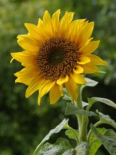 Sunflower. The big kind, I want some. We have plenty of native wild sunflower.