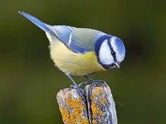 Sinitiainen, Parus caeruleus - Linnut - LuontoPortti