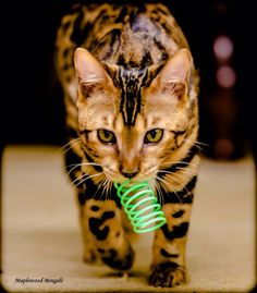 Bengal Cat ~ they are very playful & love all the attention you are willing to give them!