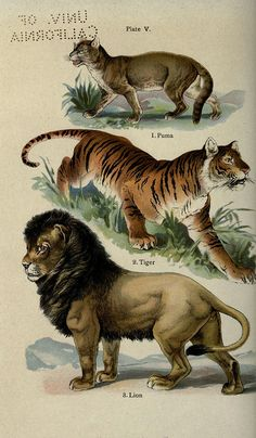 The handy natural history. Badger, The Gorham press,Puma, Tiger, Lion - high resolution image from old book.Drawings From 1845 Lithograph Antique Illustration, Nature Illustration, Big Cats Art, Cat Art, Animal Sketches, Animal Drawings, Nature Prints, Botanical Drawings, Natural History