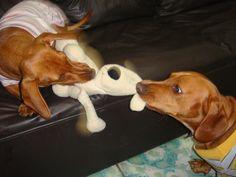 Dachshunds Playing