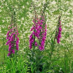 Digitalis purpurea - Purple Foxglove - Yet another poison plant said to be part of a witch's garden. Foxglove is extremely poisonous, it . Common Garden Plants, Cottage Garden Plants, Hummingbird Flowers, Hummingbird Garden, Poisonous Plants, English Country Gardens, Colorful Garden, Colorful Birds, Types Of Flowers