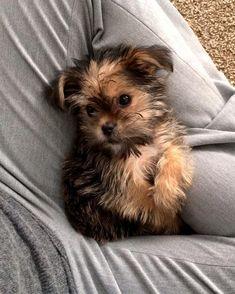 Yorkie pup #yorkshireterrier