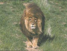 Lions Adopt a Lion - http://lionsclubs.org/blog/2013/02/21/lions-adopt-a-lion/