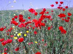 Poppies grow wild in the Gallipoli battlefields