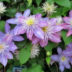 Choosing a Clematis for your garden; here's how!