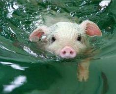 swimming pig.  gnawwwwwh