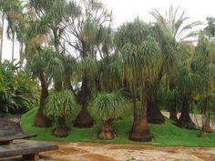 Jardín de patas de elefante