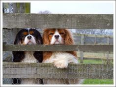 Too cute!  The nosey little Cavaliers want to see whats going on!
