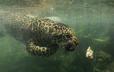 Un giaguaro nel parco di Taman Safari a Bogor, in Indonesia. (Beawiharta, Reuters/Contrasto)