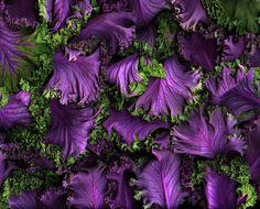 ~~ FLOWERING KALE by KatheLeSage on etsy ~~