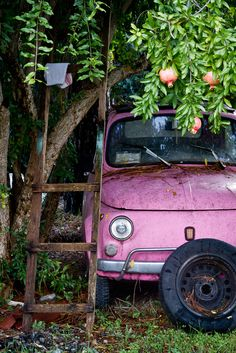 Old classic Fiat 500 underneath a pomegranate tree [567850].
