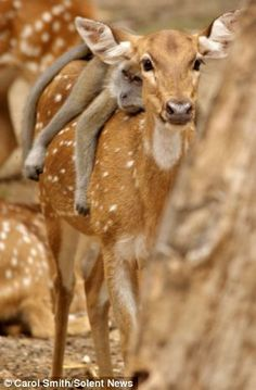 Long-tailed macaque lazing on a chital deer in Malaysia - make unlikely friends Animals And Pets, Baby Animals, Funny Animals, Cute Animals, Wild Animals, Animals Planet, Beautiful Creatures, Animals Beautiful, Unlikely Friends