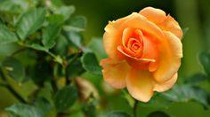 Top 10 beautiful flowers-Rose-Rose Flower-Beautiful Roses-Beautiful Rose Flowers PART Hd Flowers, Rose Flower Wallpaper, Single Flowers, Flowers Nature, Green Flowers, Flower Petals, Flower Art, Rose Orange, Yellow Roses