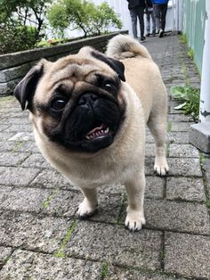 Exceptional pug info is offered on our internet site. Check it out and you wont be sorry you did. Cute Pugs, Cute Puppies, Dogs And Puppies, Doggies, Black Pug Puppies, French Bulldog Puppies, Baby Pug Dog, Sweet Dogs, Pugs And Kisses