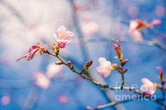 Magnificent Beauty. Closeup view of a sakura twig with a few blossoming cherry flowers of light pink color. Blurry pink, blue and white background of other flowers, sky and a cloud. Really I find it difficult to take my eyes off this beauty. This photography can be used and must be used as a #greeting #card, or a #poster, or a #canvas to #decorate a #home, or an #office.