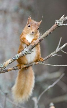 Red Squirrel On A Branch By Duncan Shaw << Today's dose of squirrel cuteness! #waitingforRedsandGrays