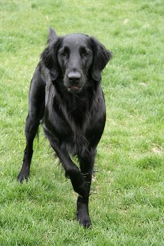 Flat Coat Retriever is an active, multi-talented bird dog with a strong desire to please people.  Exuberant, confident, and outgoing, they make a loving family pet and can be companions to small children, providing adults are nearby to direct this dog's boisterous enthusiasm. These retrievers require plenty of exercise and engagement to help channel their natural sporting energy