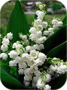 White flowers dancing in the breeze.