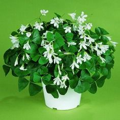 I need to get a shamrock plant for grandma's pot. She always had shamrocks in the house :)