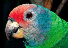 Papagaio-de-cara-roxa   Criadouro Onça Pintada
