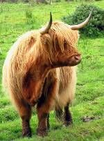 highland coo....saw so many while in Scotland...I wanna go back!