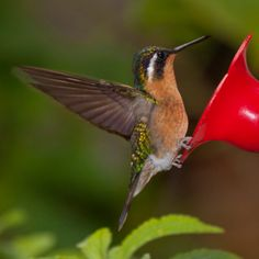 This Purple-throated mountain-gem hummingbird has wings that vibrate 20 to 80 times per second.    iStockphoto/Thinkstock