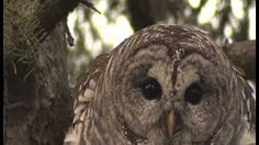 BARRED OWL AMAZING VOCALS! - YouTube