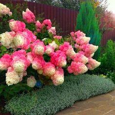KRÓLOWA HORTENSJA BUKIETOWA RENHY VANILLE FRAISE Hydrangea Landscaping, Beautiful Nature Pictures, Growing Flowers, Beautiful Gardens, Garden Design, Diy And Crafts, Wisteria, Landscape, Green
