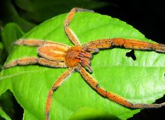 Panama Wildlife Photos: The Insects of Panama : Wandering Spider Photo