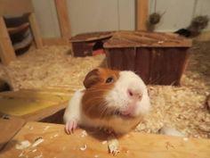 Happy Smiling Piggie