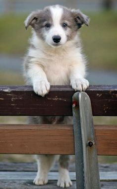 Jonah the Border Collie | Puppies | Daily Puppy