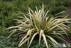 Google Image Result for http://gardencoachpictures.files.wordpress.com/2011/07/phormium_cream_delight_001.jpg